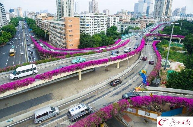 """簕杜鹃盛放 航拍广州高架桥""""紫红花道"""" - 海阔山遥 - ."""
