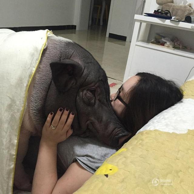 回音壁:与猪同眠,任性!