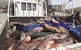 景观湖捞出1000公斤大鱼 矿大请师生免费吃