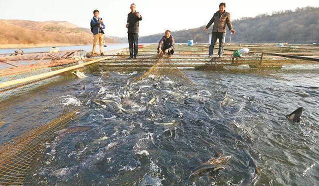 丹江口为确保南水北调水质清网箱 300万斤鲜鱼滞销