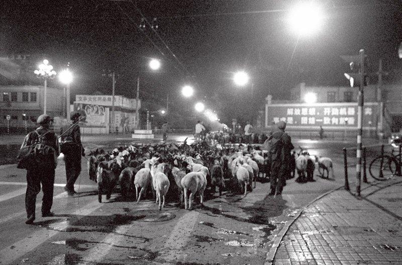 1977年,北京长安街西单路口,牧羊的农民正赶着羊送去屠宰厂。