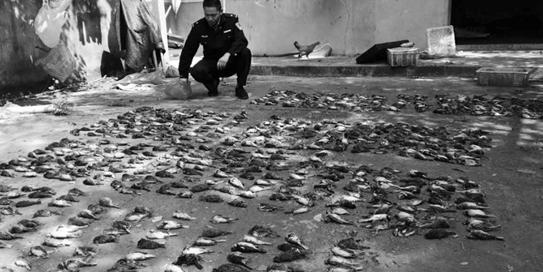 女子张网非法捕鸟近2000只 六百多只鸟儿已死亡