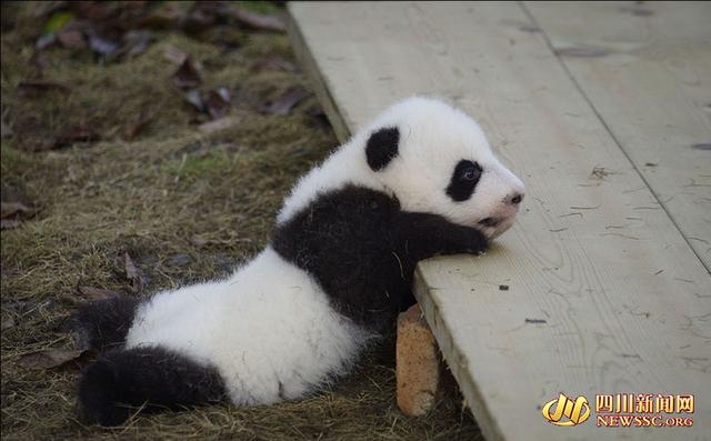 成都龙凤胎大熊猫全球征名今揭晓 入围名字曝光