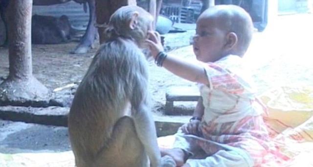 印度母猴将女婴当自己宝宝照顾(组图)