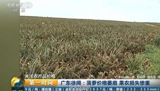 央视曝广东菠萝价格大跌 2毛一斤边无人问津