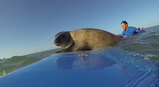 可爱海豹主动亲近冲浪者 霸占滑板不肯离开