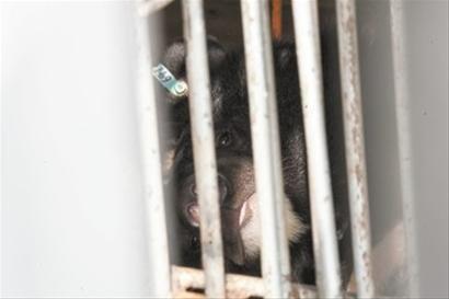 被关在惠安县黄塘镇黑熊养殖基地的熊 CFP供图