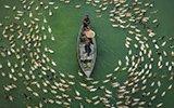 孟加拉百余鸭子绕小船等喂食