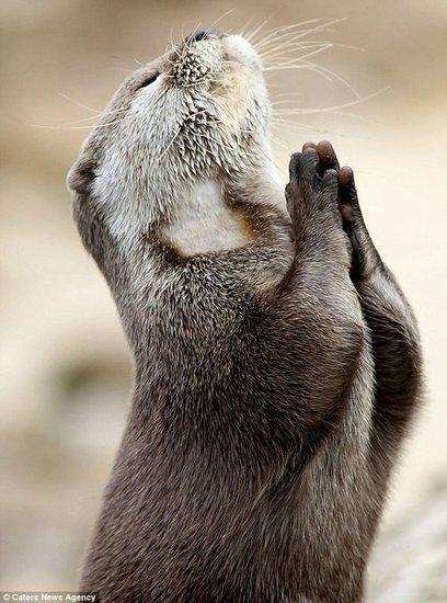 水獭双手合十如同祈祷:上帝赐我一条鱼吧(图)
