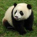 鱼人行:大熊猫的黑白世界也精彩