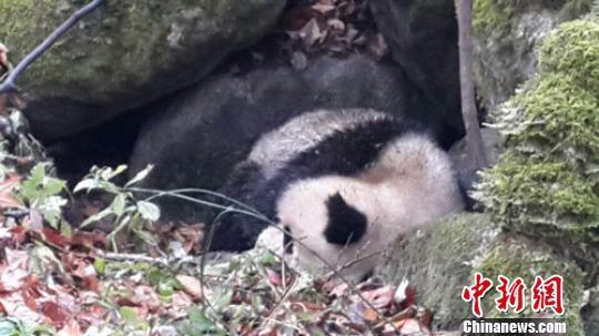 四川青川唐家河保护区受伤大熊猫向人类求助
