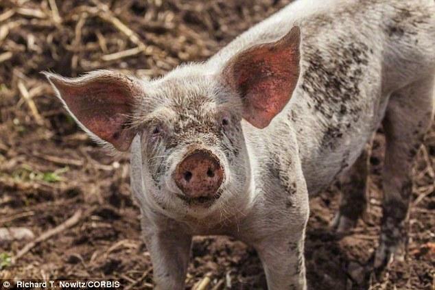 荷兰科学家发现猪也会与同伴共享幸福和悲伤