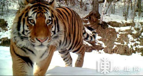黑龙江自然保护区拍到野生东北虎进食影像(图)
