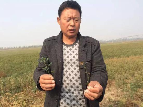2015年10月20日,河北威县赵村乡前寺庄村村民告诉记者,由于地下水下降,缺水,苜蓿长不高,并且会干枯。 新华社记者郭雅茹 摄