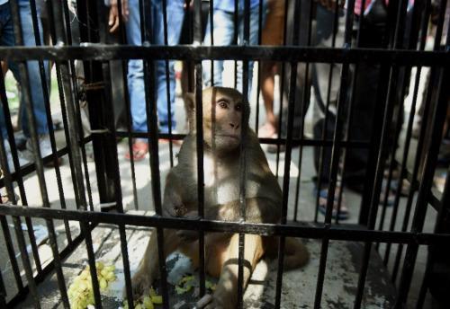 猴子被关进笼子游街示众。