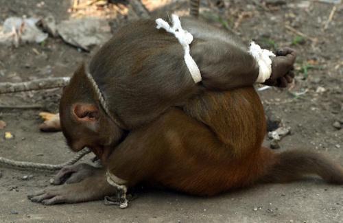这只在印度孟买市内捣蛋的猴子被抓。
