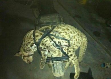 广西猎杀豹猫男子因散布谣言被拘 罚款两千(元)
