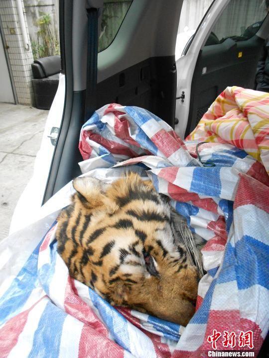 温州警方查获一只疑似东北虎经检查老虎已死(图)