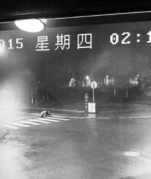 """汶川大熊猫""""闹元宵"""" 半夜过马路只走斑马线"""