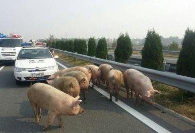 湖北高速一运猪车侧翻 30头猪高速乱跑5小时