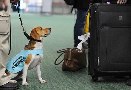 日羽田机场用小型猎犬嗅行李防止禽流感(组图