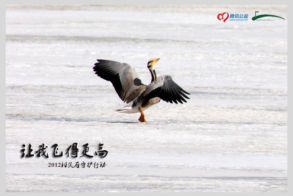 2012斑头雁守护行动