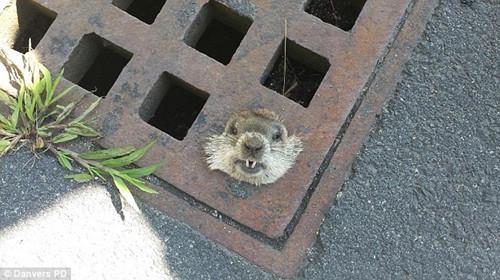 """土拨鼠被卡下水道口 获警察""""营救""""(图)图片"""