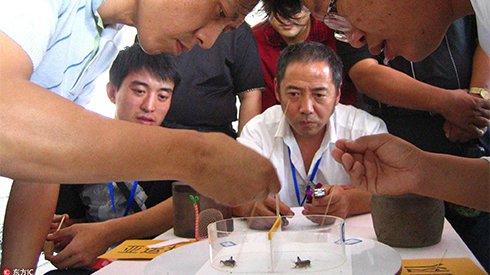 """隐蔽的斗蟋社会:中国传统乡土社会的""""活化石"""""""