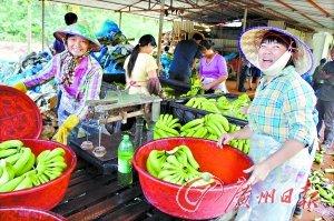 海南香蕉跌至4毛一公斤 小规模种植户血本无归