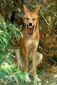 澳洲野狗肆虐危及人畜