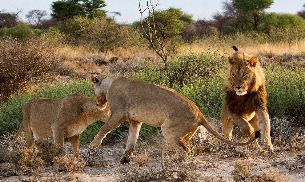 非洲草原上演河东狮吼 母狮暴揍老公吓跑小三 - 海阔山遥 - .