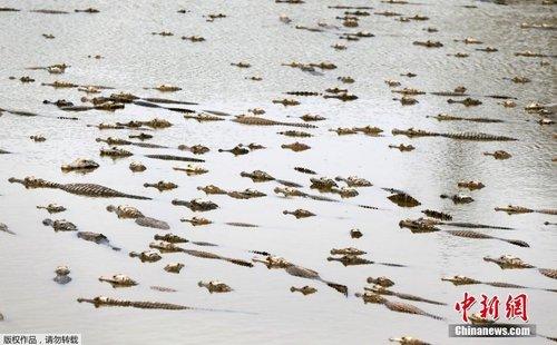 巴拉圭遭遇严重干旱 鳄鱼为生存扎入泥潭中