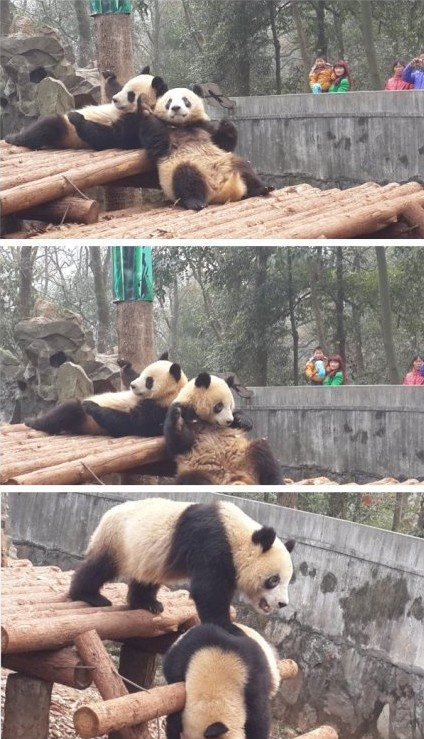"""杭州一大熊猫""""黑眼圈""""变白 园方称或是螨虫作怪"""