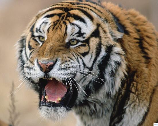 老虎吃印度人视频录像