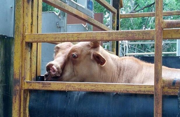 """澳大利亚出现一只""""双面牛""""(图)"""