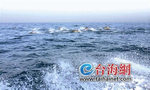 """福建古雷海域现数百只海豚海面""""跳芭蕾""""(图)"""