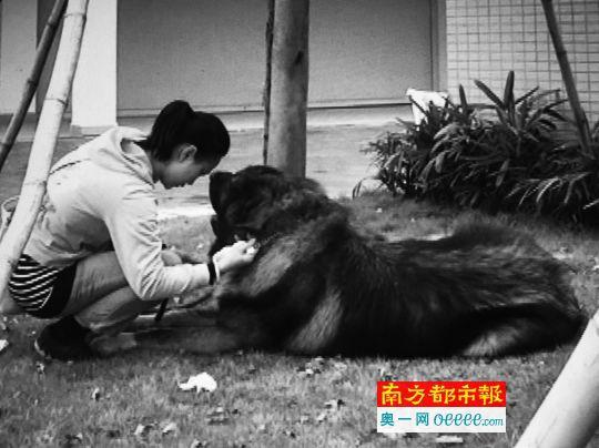 咬人的高加索犬和主人陈小姐. 目击者供图一只将近150斤,站起来近图片