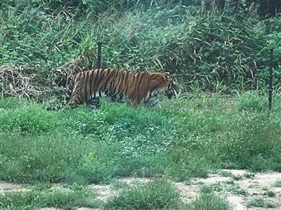 老虎伤人后八达岭动物园重开 猛兽区自驾游暂停