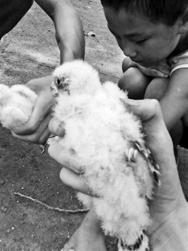 闫亮在自家门掏的雏鸟是国家二级保护动物燕隼