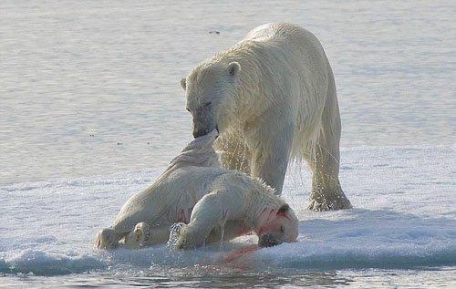 大熊吃小熊 全球暖化导致北极熊饥不择食