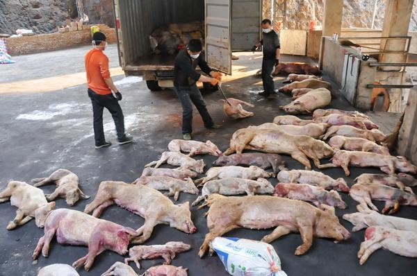 福建2000多吨病死猪肉流向餐桌 工人自己不敢吃