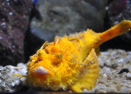 日本展出罕见老虎鱼 通体金黄引游客围观