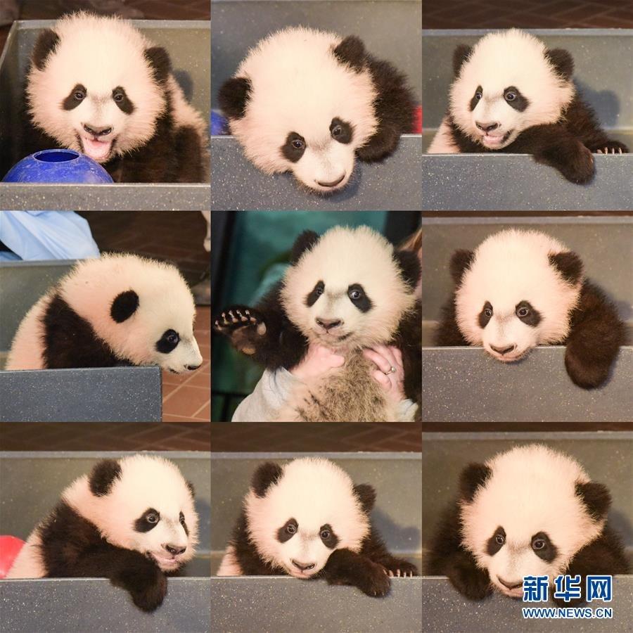 """华盛顿国家动物园大熊猫""""贝贝""""接受体检"""