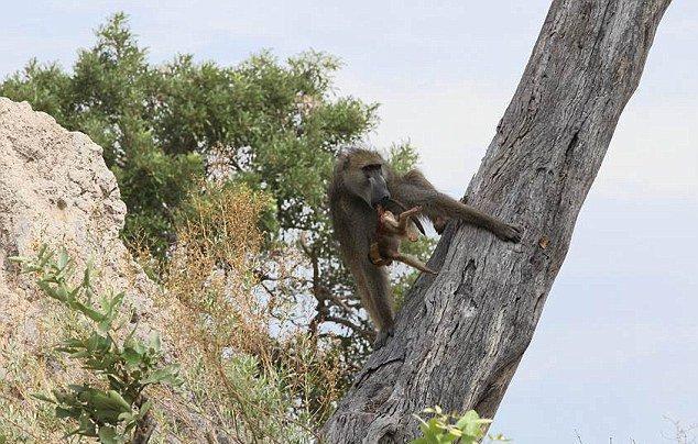 组图:狒狒父亲狮子口下勇救幼崽