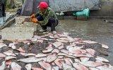 渔民凌晨捕捞牙鲆鱼 上岸先将其拍死放血去腥