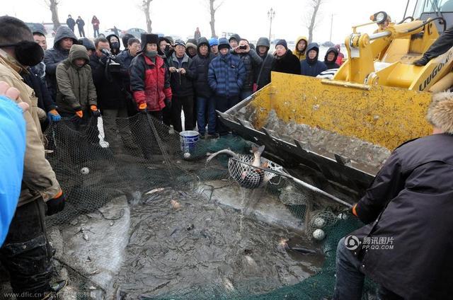 组图:哈尔滨冬捕拉网捕鱼万斤 铲车捞鱼