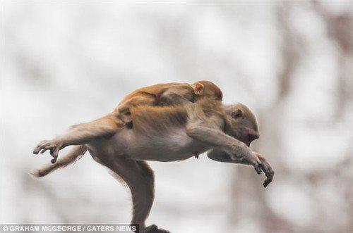 母猴背着小猴高空跳水。