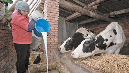 奶牛一生不断地产奶,是因为不断地生小牛。刚出生的小公牛出路是被宰,有幸生存的小母牛也只能吃饲料。