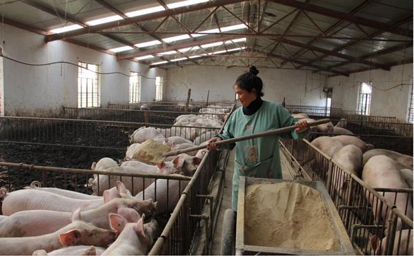 我国的集约化养猪场