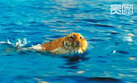 《少年派》中的老虎据说遭遇过溺水